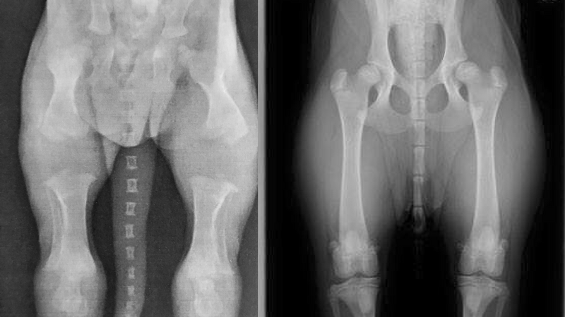 X-ray of a puppy bone growth at 2 weeks and six-months