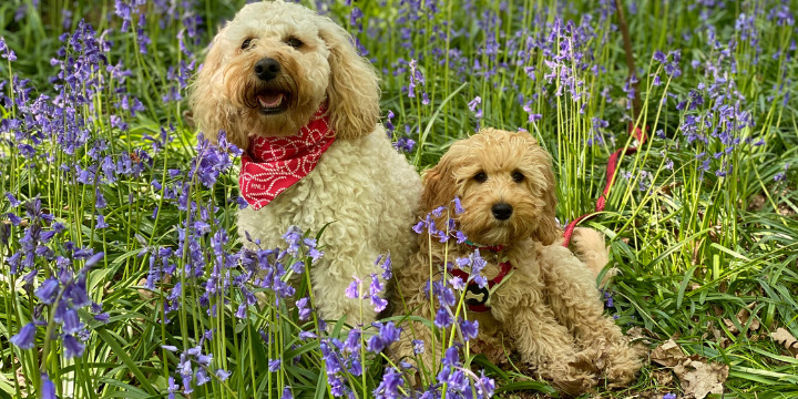 Freya and Frankie in bluebells