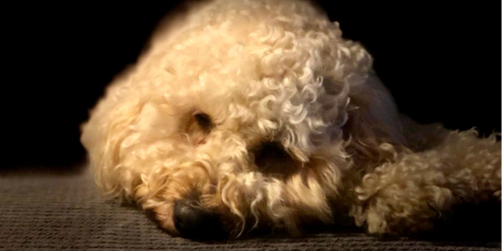 Depressed cockapoo Freya