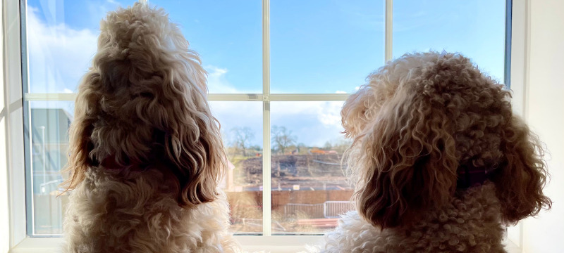 Moving house with a dog - Freya and Frankie looking out of the window