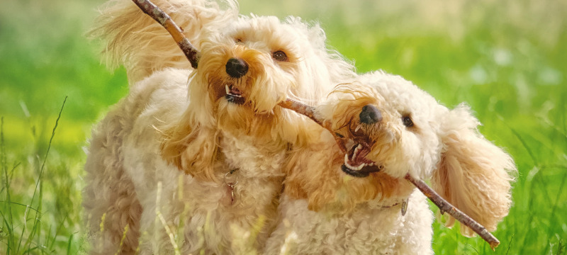 Image of Freya and Frankie sharing a stick taken by Nicki Cameron